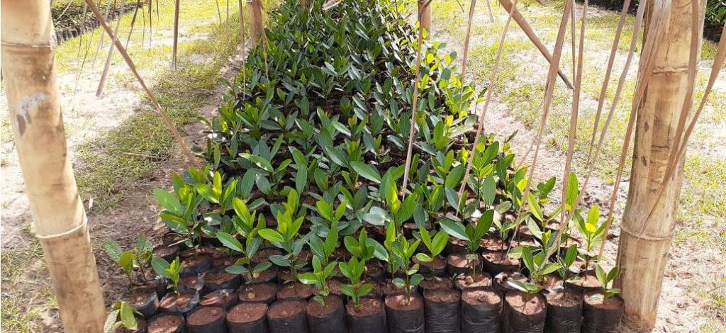Jeunes pousses de calophyllum inophyllum