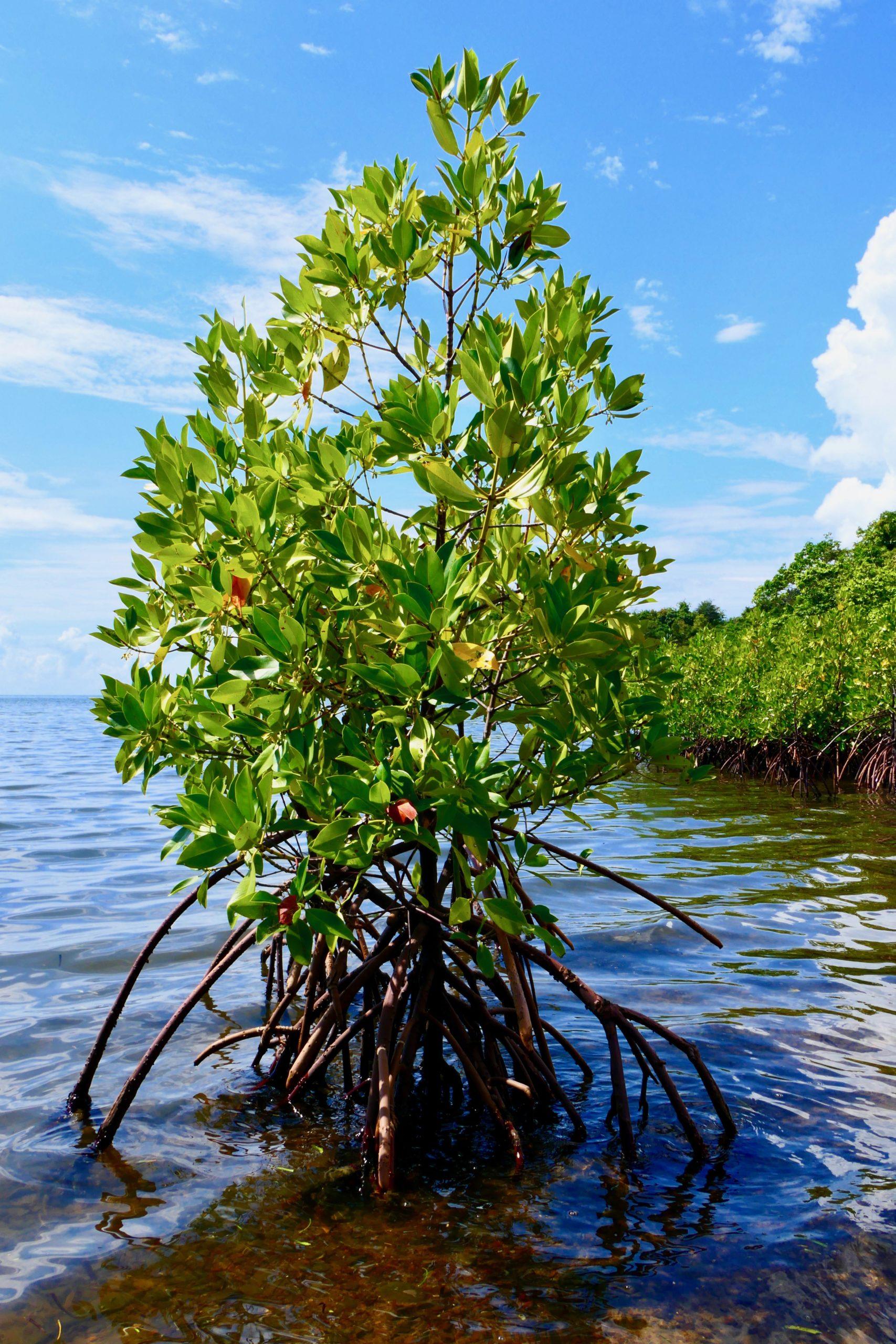 mangrove graine de vie